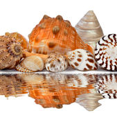 Tropical sea shells — Stok fotoğraf