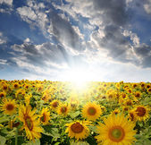 Sunflower field — Stockfoto