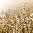 Golden wheat - Stock Photo