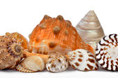 Tropical sea shells — Stockfoto