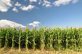 Corn field — Stock Photo