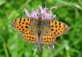 Schmetterling argynnis aglaia — Stockfoto