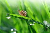Dewy grass with snail — Stock Photo