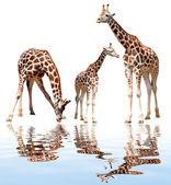 Giraffes isolated — Stock Photo