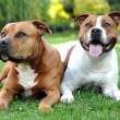 Stock Photo: AmericStaffordshire terriers