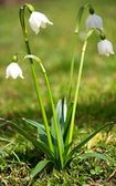 Snowflake at spring — Stock Photo