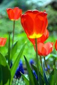 The red tulip. — Stock Photo