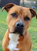Brązowy pies-spekulować na zwyżkę terier — Zdjęcie stockowe