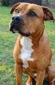 Brown dog-bull terrier — Stock Photo