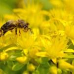 Honeybee (Apis mellifera) pollinated yellow flower. — Stock Photo