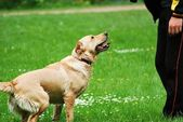 Training of the dog — Stock Photo