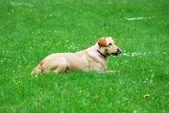 Lying dog — Stock Photo