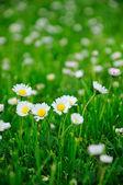 White daisy — Стоковое фото