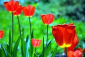 The red tulips on the green meadow. — Stock Photo
