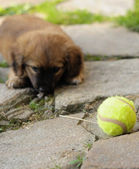Small brown puppy, old only few weeks is playing with ball. — Stock Photo