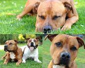 Bull terrier collage — Stock Photo