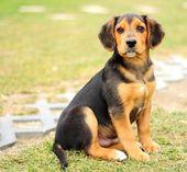 Small beagle — Stock Photo