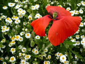 Poppy and daisies on summer — Stock Photo