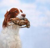 Dog holds a woodcock — Stock Photo