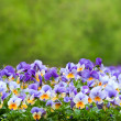 Purple and white pansies — Stock Photo