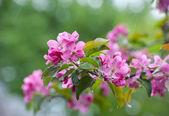 Pink flowers apple-tree — Stock Photo