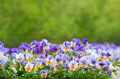 Purple and white pansies — Stock Photo