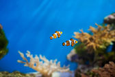 Clown fish in the aquarium — Stock Photo