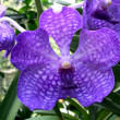 ORQUIDEA MORADA - Stock Photo