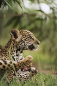 Jaguar cubs in grass — Stock Photo
