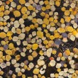 图库照片: Floating Aspen Leaves
