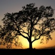 California Oak - Stock Photo
