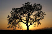 California Oak — Stock Photo