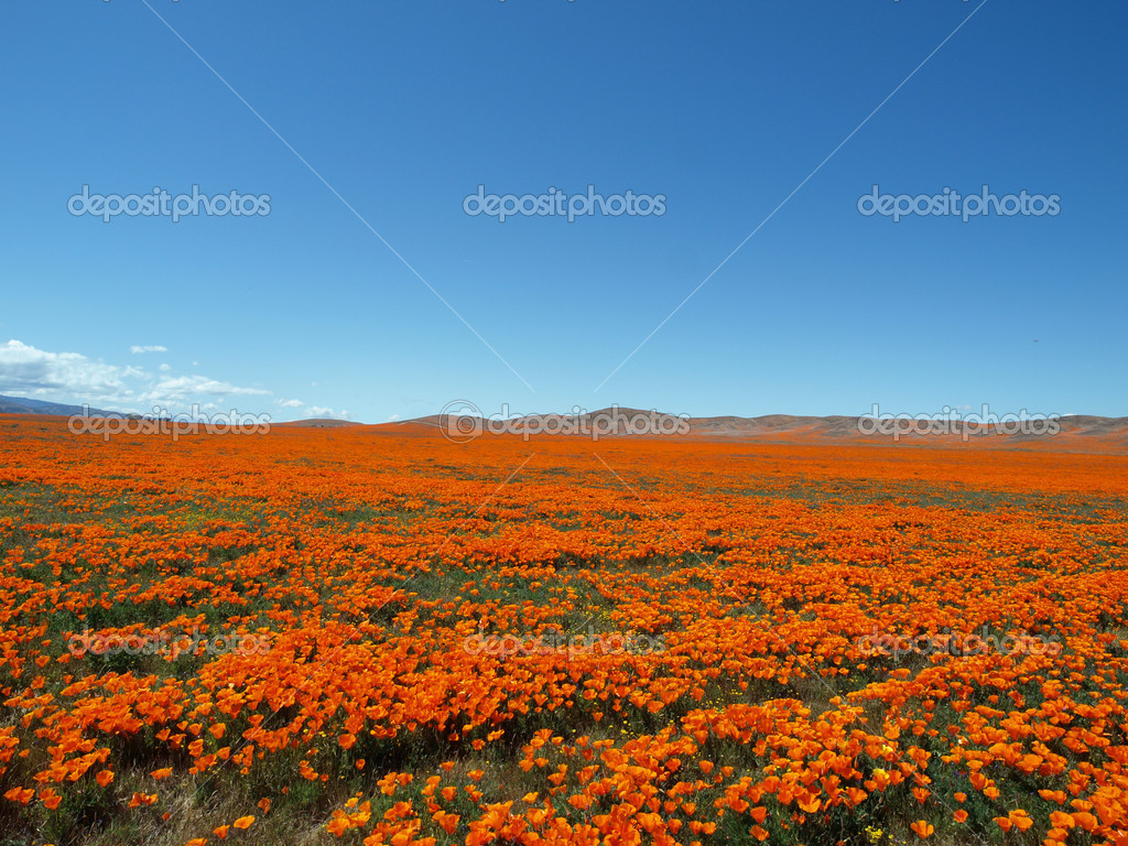 Spring time in the California Poppy fields.  A perfect place for a nap. — Stock Photo #7933640