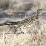 Greater Roadrunner (Geococcyx californianus) — Stock Photo #7914369
