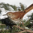 Brown Thrasher In Winter — Stock Photo