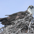 Royalty-Free Stock Photo: Osprey On A Nest