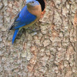 Eastern Bluebird Sialia sialis - Stock Photo