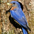 Eastern Bluebird — Stock Photo #7915841