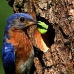 Eastern Bluebird — Stock Photo #7915894