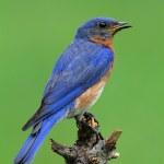 Eastern Bluebird — Stock Photo #7915910