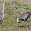 Pair Sandhill Cranes Courting — Stock Photo #7915989