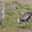 Stock Photo: Pair Sandhill Cranes Courting
