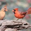 Stock Photo: Pair of Northern Cardinals