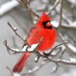 Cardinal In Snow — Stock Photo #7916198