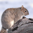 Gray Squirrel In Winter - Stock Photo