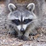 Curious Raccoon — Stock Photo