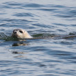 Harbor Seal In The Atlantic Ocean — Stock Photo