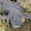 Stock Photo: AmericAlligator Basking in Sun