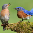 Stock Photo: Pair of Eastern Bluebird