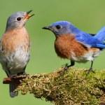 Pair of Eastern Bluebird — Stock Photo #7916379